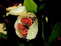 Renkler Ve Kelebek