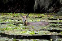 Water Buck- Su Geyigi
