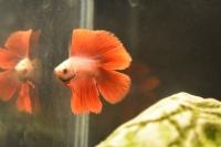 Kızıl Güzel