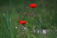 Dağ Çiçeği