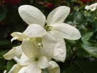 Beyaz Yapraklar