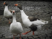 Kuğulu Parkın Ördekleri