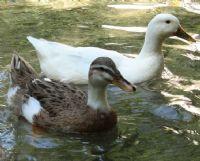 Çifte Ördek
