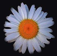 Fractal Yellow Fibonacci Spiral