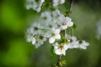 Vişne Çiçeği