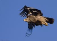 Şah Kartal Eastern İmperial Eagle / Aquila Heliaca