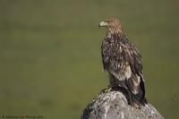 Şah Kartal . Eastern Imperial Eagle . Aquila Helia