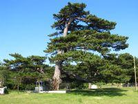 Dolu Baba Türbesi Ve Çam Ağacı