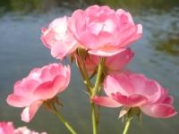 Güller Açtığında...
