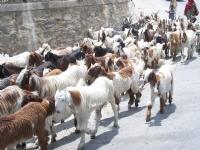 Minik Çoban :)