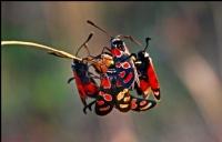 Zygaena carniolica (G�ve) - Foto�raf: Fahri Sulak