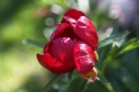 Kan Çiçeği
