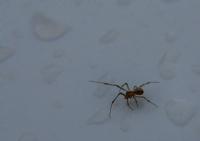 Küçük Örümcek