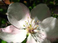 Ayva Çiçek Açtı...