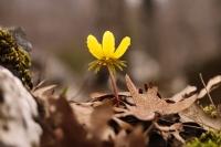 Kar Çiçeği