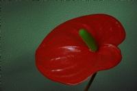 Antoryum Çiçeği_3