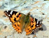 Kelebek, Eşeler Yaylası, Dodurga, Denizli