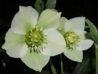 Karaca Otu Lenten Rose (heleborus Orientalis