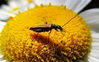 Böcek Ve Papatya