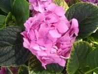 Dünya Güzeli (ortanca) Çiçeği