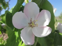 Ayva Çiçeği