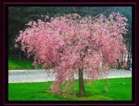 Vişne Ağacı