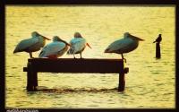 Pelikanlar