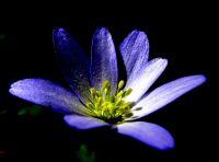 Anemone Blanda (yoğurt Çiçeği)