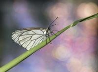 Alıç Kelebeği...
