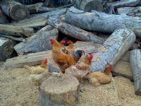 Tavuklar Ve Baş Horoz..