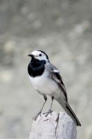 Siyah-beyaz Serçe Kuşu