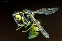 Arı Makro Çekim