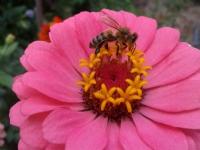 Arı Ve Çiçeğin Uyumu...