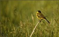 Sarı Kuyruksallayan Yellow Wagtail / Motacilla Fla