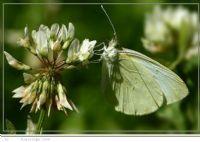 Güzell Kelebek
