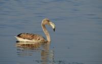 Genç Flamingo