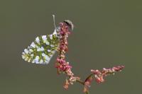 Kelebek İle Sinek
