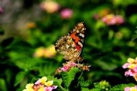 Bahçemdeki Kelebek