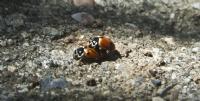 Makro Uğur Böceği