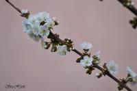 İlkbahar Kiraz Ağacı