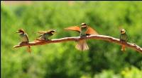 Arı Kuşları...