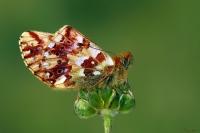 Balkan Menekşe Kelebeği