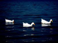 Üç Beyaz