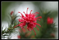 Grevillea - Fotoğraf: Hakan Ural