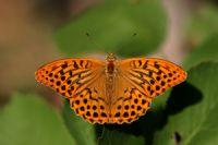 Cengaver (argynnis Paphia)