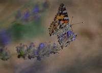 Lavanta Ve Kelebek