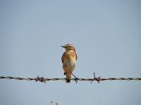 Çayır Taş Kuşu
