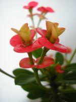 Sütleğengiller (euphorbiaceae)