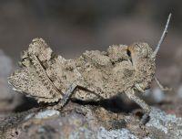 Ventralden Orthoptera