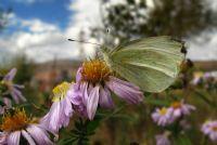 Sonbahar Kelebeği